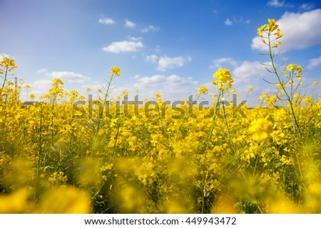 Field with yellow canola under the blue sky