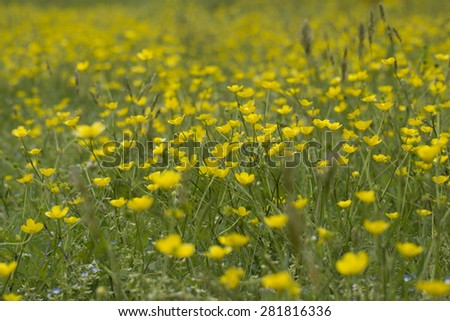 Field with yellow flowers on grass - stock photo