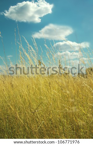 Field with yellow grass, blue sky and white clouds - summer country side scenery - stock photo