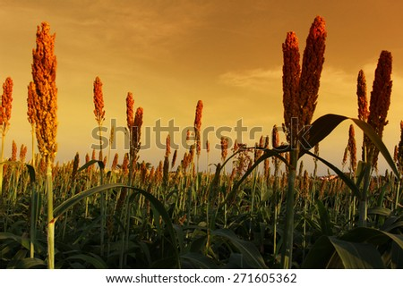 Fields of golden wheat fields of blossoming - stock photo