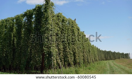 Fields of Hops in the world's largest area of hops agriculture in Holledau, Bavaria, Germany. - stock photo