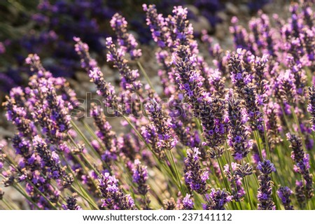 Fields of lavender,Valensole, Provence ,France - stock photo