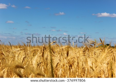 Fields of ripe yellow wheat ready for harvest.