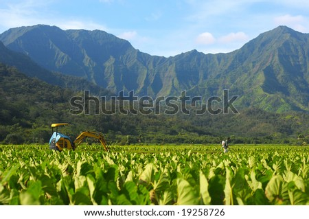 Fields of taro being sprayed in Kauai, Hawaii