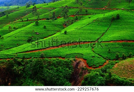 Fields of tea. Plantation in Sri Lanka. - stock photo