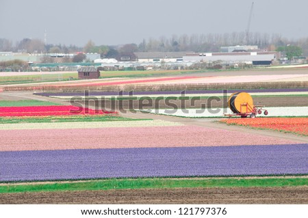 Fields of tulips and hyacinths in the Netherlands with system for irrigation. - stock photo