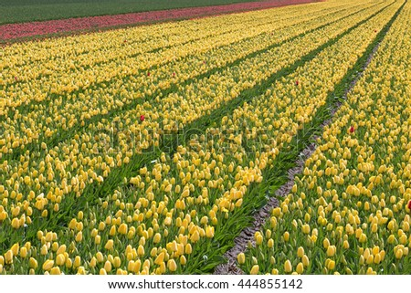 Fields of tulips in North Holland