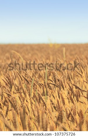 Fields of wheat in  Morioka,  Iwate,  Touhoku, Japan