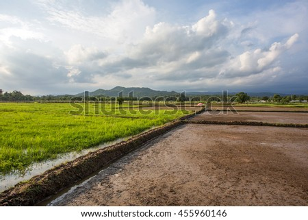 Fields Seasonal farm rice a mountain background