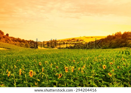 Fields with sunflowers and wheat in the background - stock photo