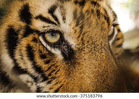 Fierce Bengal tiger eye looking close up  - stock photo