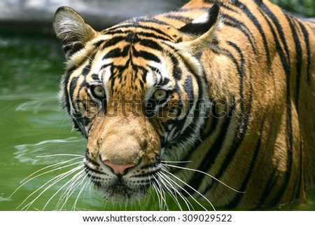 Fierce Bengal Tiger head looking to camera - stock photo