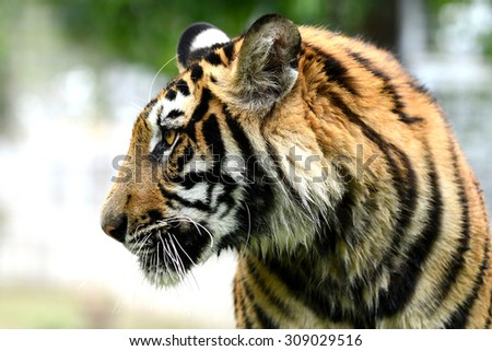 Fierce Bengal Tiger head looking to something  - stock photo