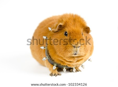 fierce Bosspig - stock photo