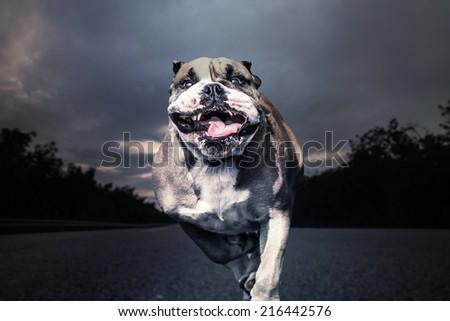 Fierce bulldog runs along a solitary road - stock photo