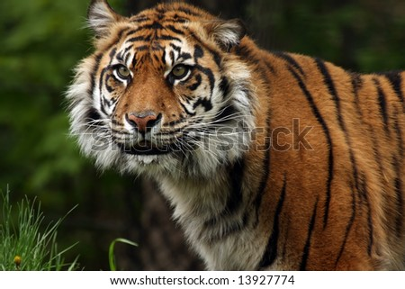 Fierce Sumatran Tiger. - stock photo