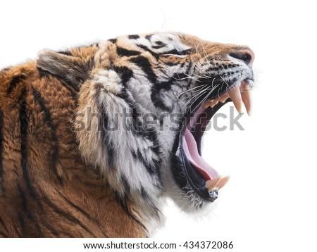 Fierce tiger - stock photo