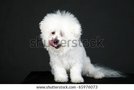 Fifi a pure white purebred bichon frise smiles as she models against a pure black background - stock photo