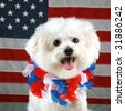 Fifi the Bichon Frise smiles and wears her forth of july hawaiian style lei as she sits infront of an American Flag and on a mirror for reflections Forth of July Series - stock photo