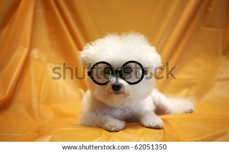 Fifi the Purebred Bichon Frise fresh from the Doggy Day Spa tries out her Halloween Costumes against a orange plastic table cloth to decide which costume she is going to wear this year - stock photo
