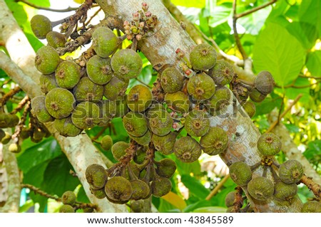 Cluster Fig Tree Stock Images, Royalty-Free Images & Vectors ...