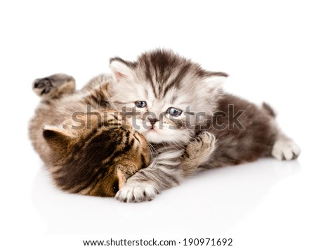 fight between two british kittens. isolated on white background