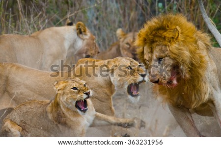 Fight in the family of lions. National Park. Kenya. Tanzania. Masai Mara. Serengeti. An excellent illustration. - stock photo