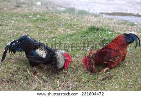 fight of cocks in Abkhazia in village near border with Russia - stock photo