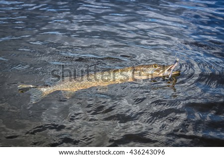 Fight with Swedish pike - stock photo