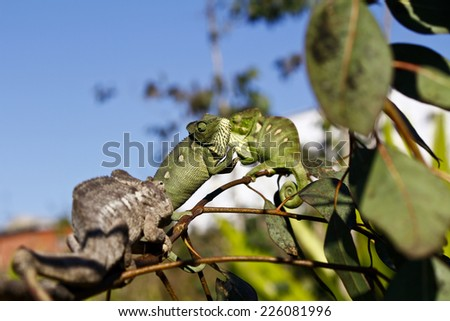 Fighting Chameleon - Rare Madagascar Endemic Reptile