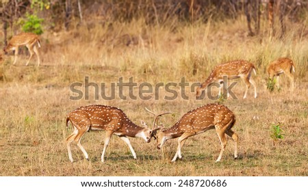 Fighting chital or cheetal deers (Axis axis), also known as spotted deer or axis deer in the Bandhavgarh National Park in India. Bandhavgarh is located in Madhya Pradesh. - stock photo