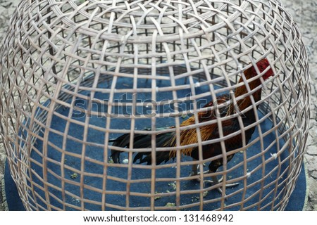 fighting cock in cage. - stock photo