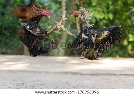 Fighting cocks in a vicious attack clawing at each other with their feet and legs which are fitted with metal gaffs to inflict maximum injury during the cock fight - stock photo