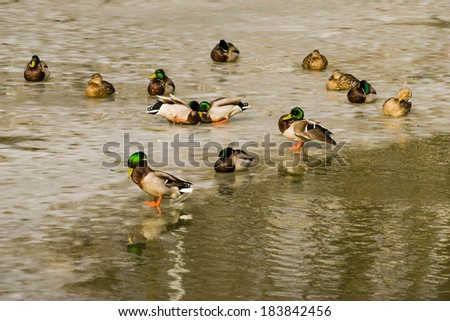 Fighting ducks among the duck flocks on the ice of the melting pond   - stock photo
