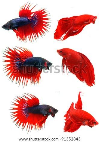 Fighting fish - stock photo