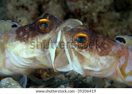 fighting jawfish... - stock photo