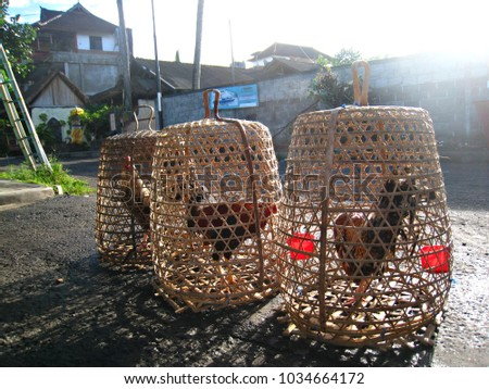 Fighting roosters in cages waiting for the fight, Bali, Indinesia