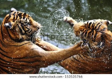 Fighting tigers - stock photo