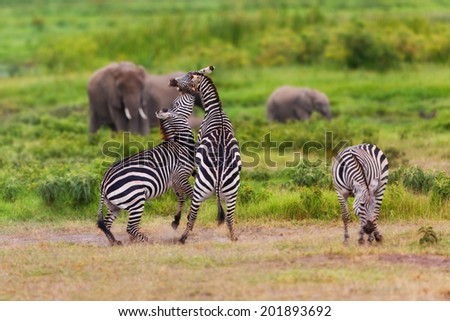 Fighting Zebras with Elephants in the background in Amboseli National Park, Kenya - stock photo