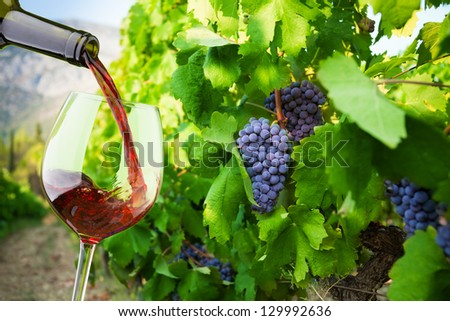 Filling the glass with red wine from the bottle with vineyard with grapes on background - stock photo