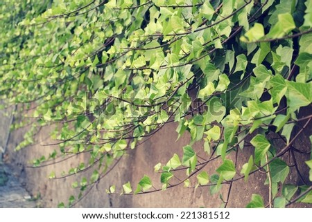 Filtered picture of Green Common Ivy crawling on the wall - stock photo