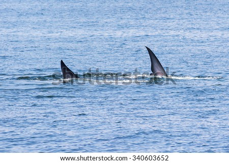 Fin of Bryde's whale in gulf of Thailand - stock photo