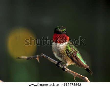 Final glow of sunset A hummingbird is awash in gold light as the sun sets - stock photo