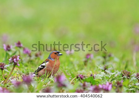 Finch among the spring flowers, spring singing birds, green grass, wildlife - stock photo