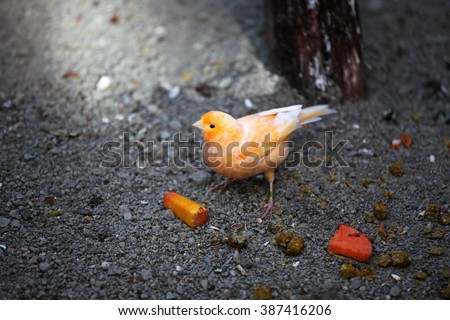 Finch with orange feathers - stock photo