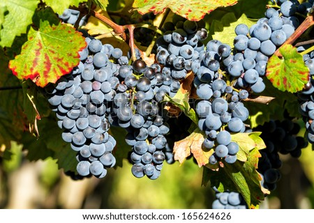 Fine bunch of blue grapes