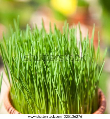 Fine grown chives at market - stock photo