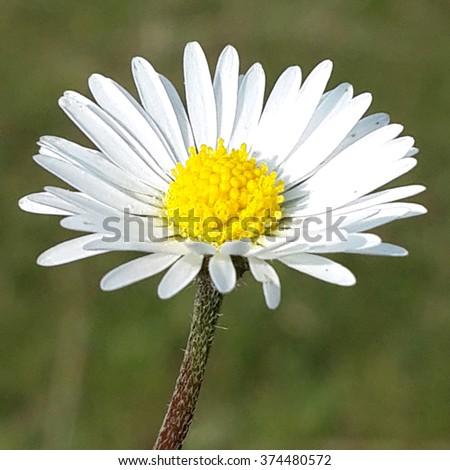 fine grown german flower, plant, flora, nature, medicine, chamomile - stock photo