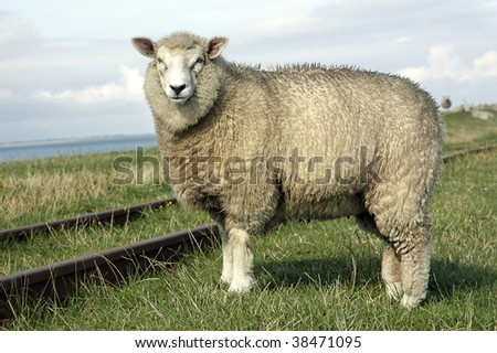 Fine looking sheep standing on a field crossed by an old railway line - stock photo