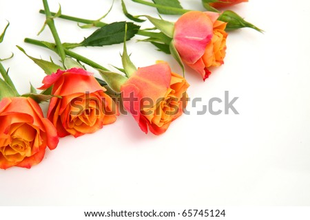 Fine roses on a white background